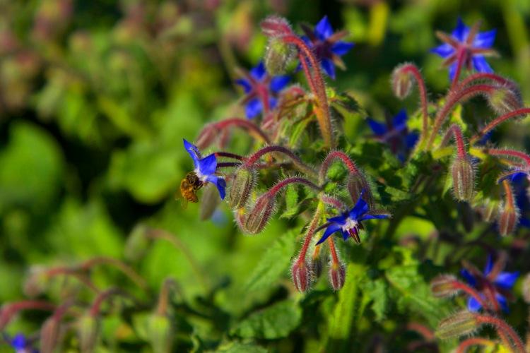 Borage with blue flowers