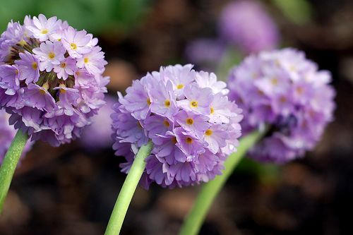 Purple Drumstick Primrose