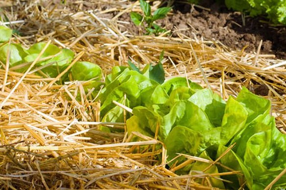 Lettuces Mulched with Straw