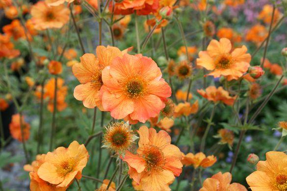 orange geum flowers