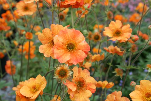 orange geum flowers