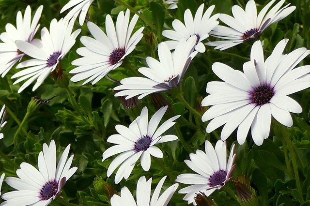 cluster of white daisy style flowers