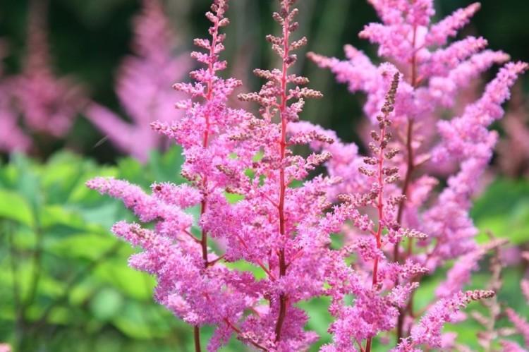 Pink fluffy Flower Spikes
