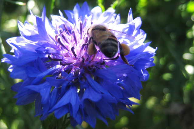 Bee in a blue flower