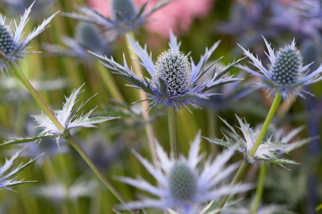 Close up of Sea Holly Flowers