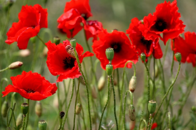 Collection of Red Poppies