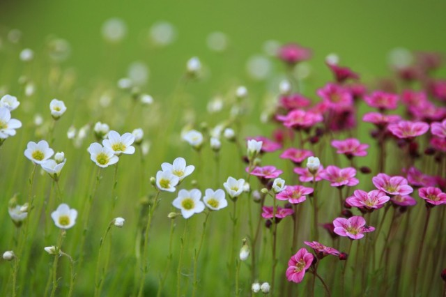 Meadow with white and pink flowers