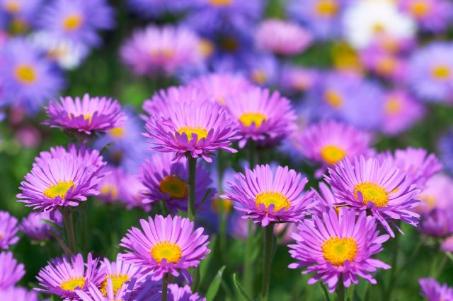 purple daisy like flowers