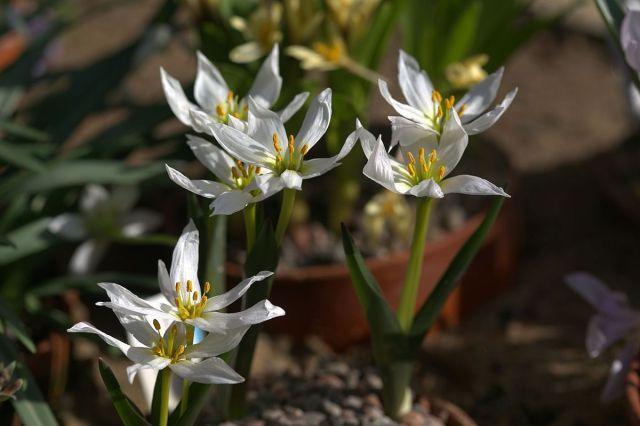 small white iris like flowers