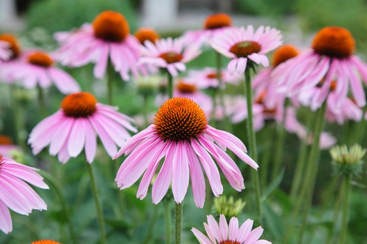 pink daisy like flowers