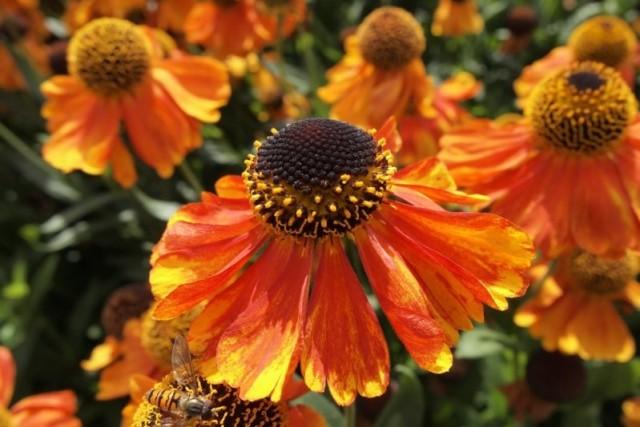 orange daisy like flowers