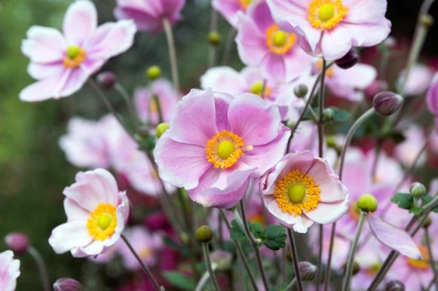pink daisy like flowers