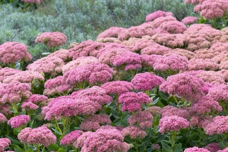 clump of pink fluffy flower heads