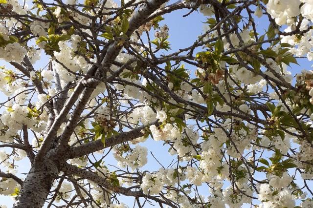 Close up of Cherry Blossom Tree