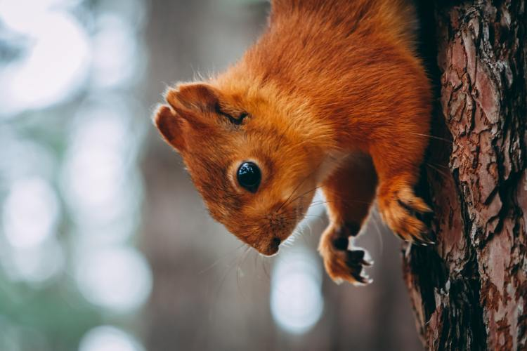 Red Squirrel on a Tree