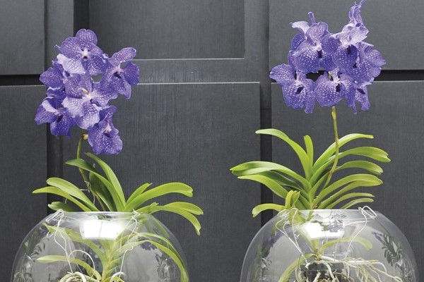 Orchids growing in water only